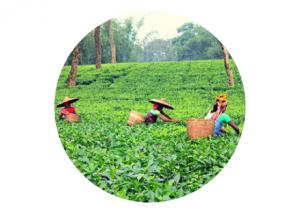 Picking Tea Leaves