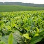 Tea Plants along the border Image